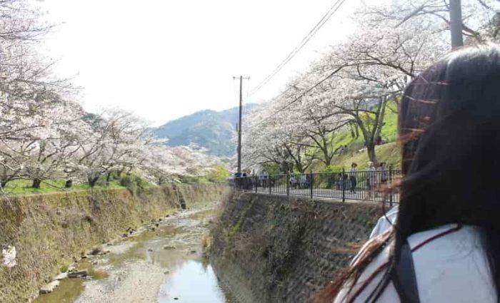 山中渓の両岸に咲き誇る桜並木です。