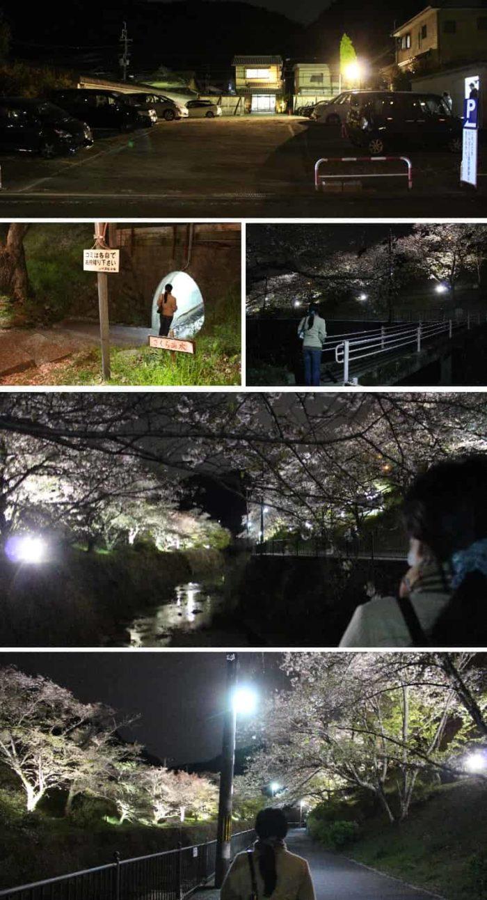 夜のライトアップされた桜並木です。