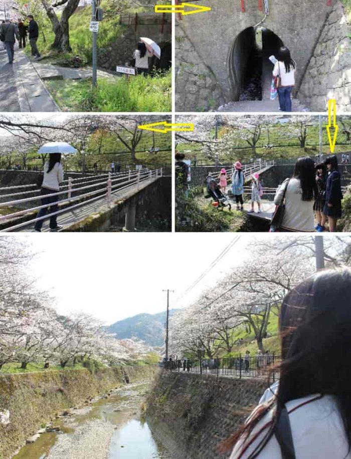 山中川の両岸に咲き誇る桜並木です。