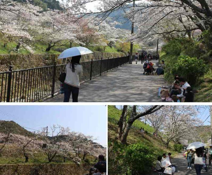 のんびりと桜並木を観賞できます。