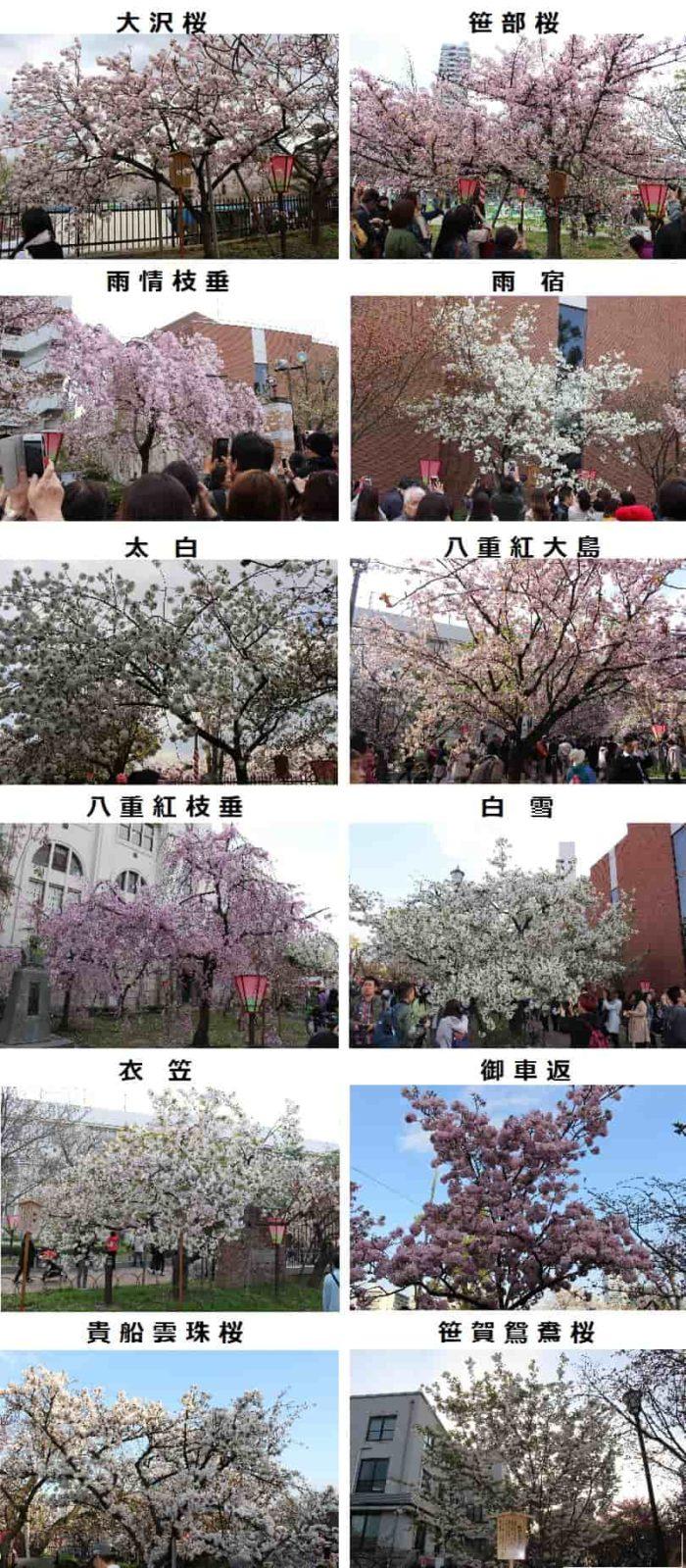 見ごろを迎えている桜です。