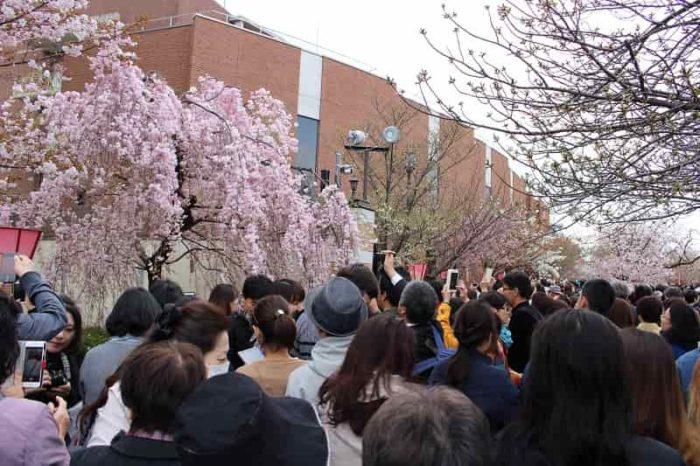 造幣局の桜の通り抜けの様子です。