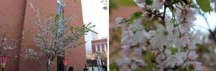 見どころ4品種の1種『養老桜』です。